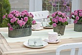 Primula 'Romance' in metal containers as a table decoration