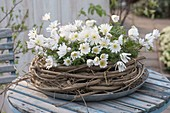 Anemone blanda 'White Splendor', white arctic violet