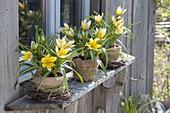 Tulipa tarda syn. T. dasystemon in clay pots with burlap