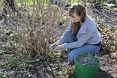 Woman fertilizing shrubs in spring