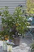 Citrus sinensis underplanted with Viola cornuta