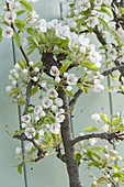 Trellis pear 'Delicious of Charneux' in U shape