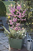 Cercis siliquastrum planted with rosemary