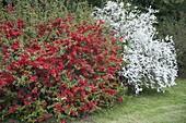 Chaenomeles 'Crimson And Gold' and Spiraea arguta