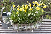 Basket of Narcissus 'Tete A Tete' and Muscari botryoides 'Alba'