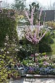 Prunus triloba (Mandelbäumchen) blühend im Garten