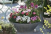 Rosa-weiss bepflanzte Fruehlingsschale