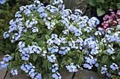 Myosotis 'Myomark' (forget-me-not) in flower bed