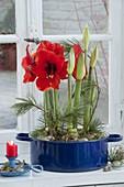 Planting Amaryllis in blue enamel pot