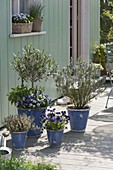 Terrace with edible flowers and herbs, Olea europaea