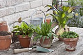 Placing herbs and spice plants in clay pots, blood steamer