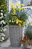 High wicker basket planted with blue-yellow Narcissus 'Tete a Tete'