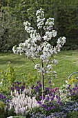 Malus 'Everste' with Tiarella 'Snow Blanket'