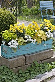 Turquoise wooden box with Erysimum 'Winter Light' 'Saffron', Iberis