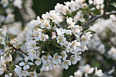 Branch of Malus sargentii 'Tina' (ornamental apple)
