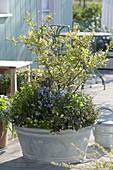 Old Zinc Pan planted with berry shrubs Vaccinium corymbosum