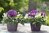 Small Biedermeier bouquets made of Allium and woodruff flowers