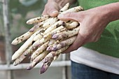 Hands with freshly harvested asparagus (Asparagus officinalis)