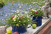 Blue enamel pots planted with meadow, Bellis perennis