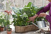 Woman watering basket box with kohlrabi and parsley