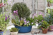 Flowering thyme (Thymus vulgaris) stems, plantain