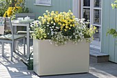 Cream box with Erysimum 'Moon Improved' 'Gold' 'Dwarf'