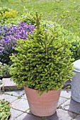Picea abies 'Will's Dwarf' with fresh budding in May
