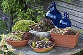 Sempervivum (houseleek, rooker) in terracotta cups, box