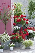 Red-white early summer terrace, Pelargonium, Iberis 'Snowball'