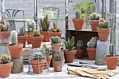 Cactuses in clay pots in the greenhouse