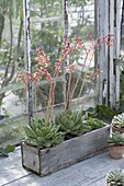 Blooming Echeveria agavoides in wooden box