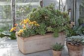 Succulent Box with Flowering Echeveria