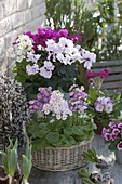 Basket with primula malacoides (lilac primrose), pot with cyclamen