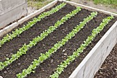 Planting corn salad in a raised bed
