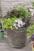 Basket with asian salads, parsley and viola cornuta