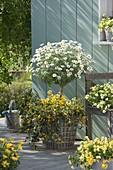 Argyranthemum frutescens 'Stella 2000', stalks underplanted