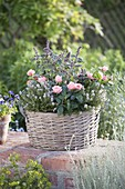 Basket with pink chinensis (China rose, dwarf rose), thyme