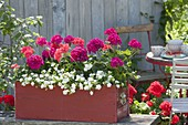 Red wooden box with Calibrachoa Minifamous 'Double White'
