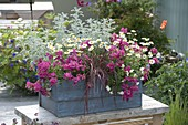 Blue wooden box with Nemesia 'Raspberry', Argyranthemum
