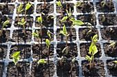 Bush beans (Phaseolus) seedlings, preferred in pot plate