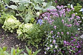 Flowerbed with lettuce, salad (Lactuca), flowering chives