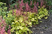 Heuchera 'Lime Marmalade' (purple bell) with yellow leaves