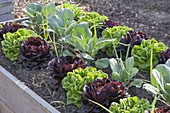 Raised Salanova salads, cabbage and onions bed