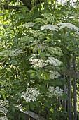 Blossoming elder (Sambucus nigra) at the garden fence