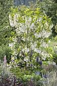 Chionanthus virginicus (Schneeflockenbaum)