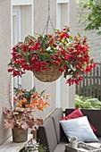 Hanging Basket with Begonia Boliviensis 'Red', Heuchera