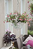 Hanging basket with Fuchsia 'Rosi Friedl' and Diascia Breezee 'Pastel'