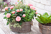 Small wooden tub with Rose chinensis, thyme