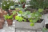 Preferred young Tropaeolum (nasturtium) plants