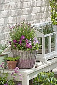 Korb mit Viola cornuta (Hornveilchen) und Schnittlauch (Allium schoenoprasum